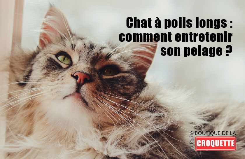 Chat à poils longs : comment entretenir son pelage ?